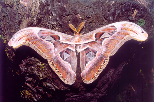 Atlas Moth, largest moth in India