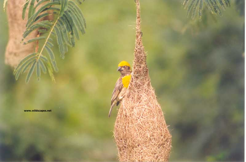 Baya weaver bird on nest, India