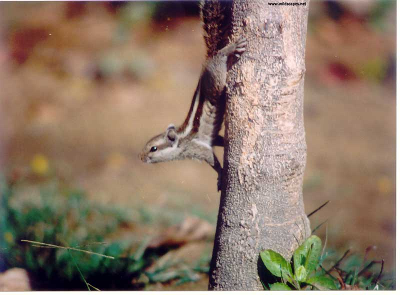 Curious squirrel  on tree, India
