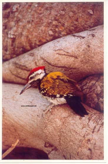 Flameback woodpecker in  Ranthambore National Park, India