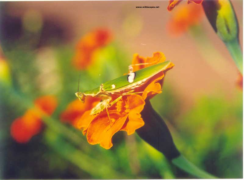 Grasshopper with prey on marigold flower, India