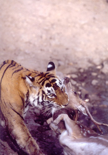 Prey being choked to death by tiger in Ranthambore, India