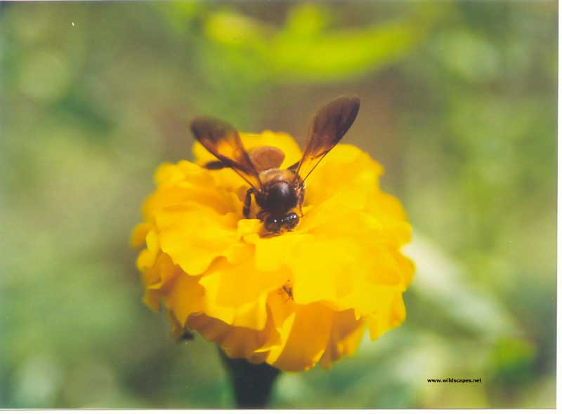 Alien- Commonly seen honey bee called the Rock bee at Melghat, India