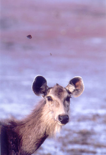 Sambar Deer, Ranthambore, India