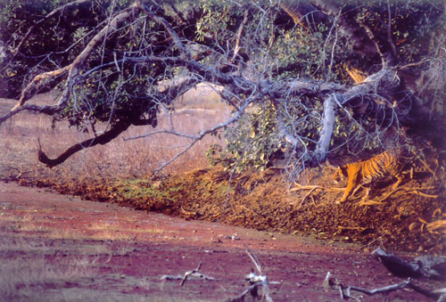 Stalking tiger on lake in Ranthambore, India