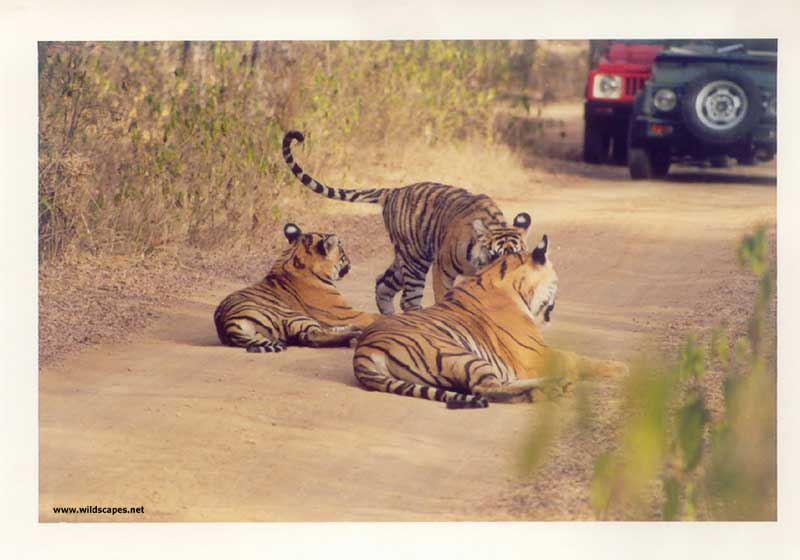 Three tigers and a jeep in Ranthambore National Park, India