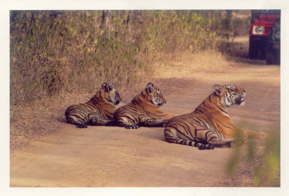 Tigress and cubs on  jungle road in Ranthambore National Park, India