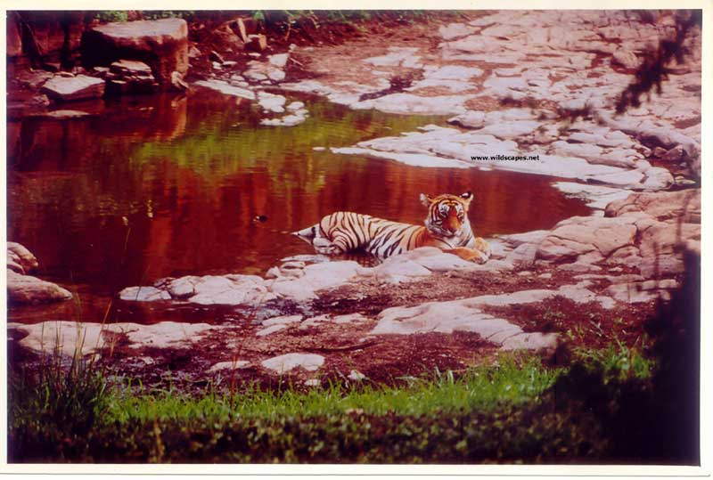 Female Tiger at waterhole in  Ranthambore National Park, India