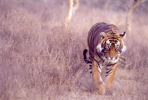 Tiger on prowl in Ranthambore, India