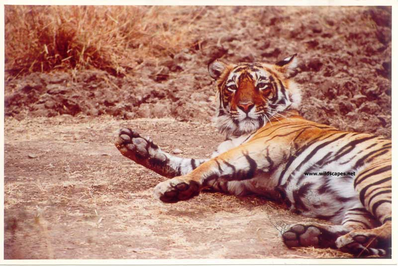 Tiger at salt lick in  Ranthambore National Park, India