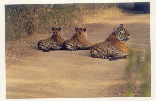 Tigress and two cubs on  jungle road in Ranthambore National Park, India