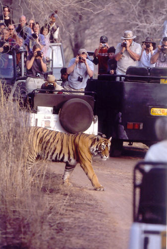 Tourist jeeps surround tiger in Ranthambore, India