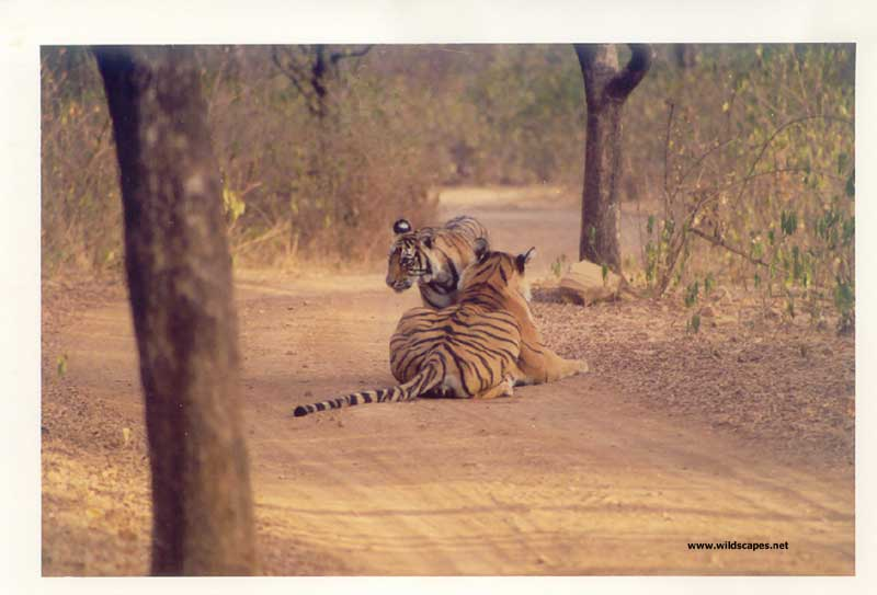 Two tigers on a road in Ranthambore National Park, India