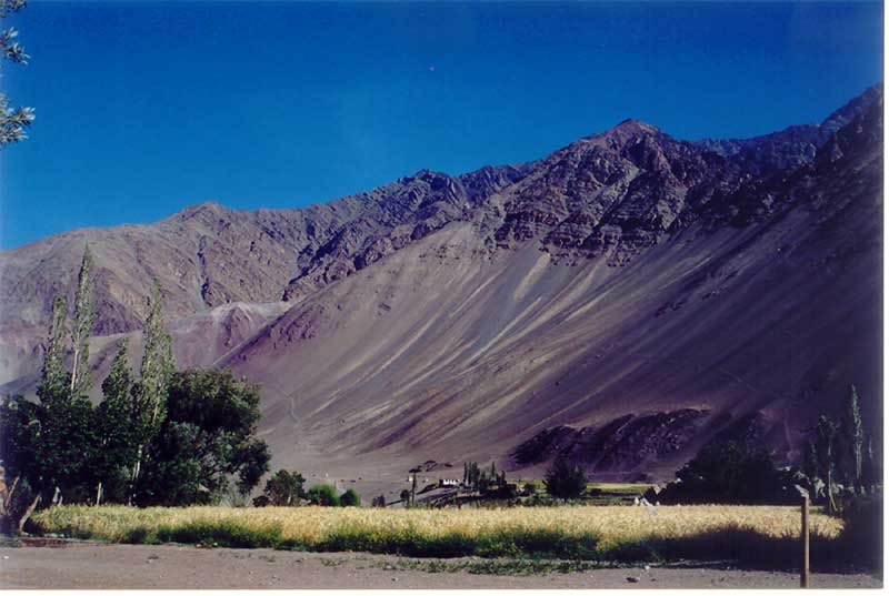 Wheatfields surrounded by rugged mountains in Leh, Ladakh, India