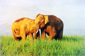 Young Bull Elephants whispering to each other in Corbett National Park, India